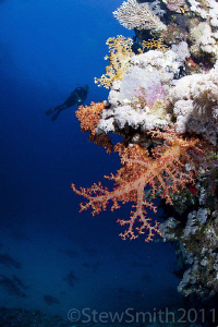 The beautiful corals of the Egyptian Red Sea by Stew Smith 